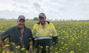 Michael (left) and Josh Hunt in the new Hyola 580CT canola.
