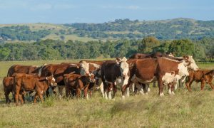 hereford cattle australia stock image