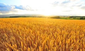 barley field farm stock image