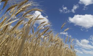 Wheat harvest at Jeff Naumann's farm. Close-up of ripe wheat.
