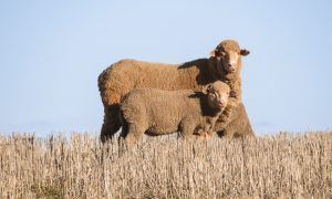 weaning lambs
