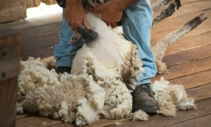 shearing industry