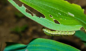 Fall armyworm podcasts