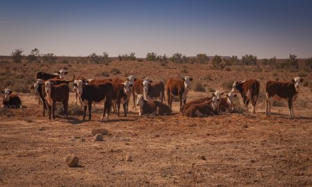cattle dry outback queensland stock image