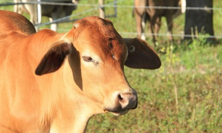 beef cattle and fence stock image