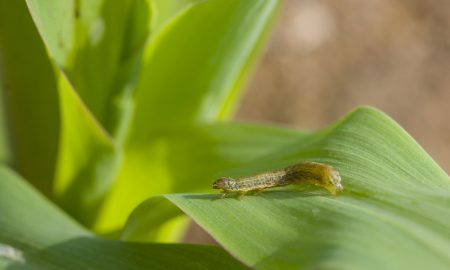 fall army worm
